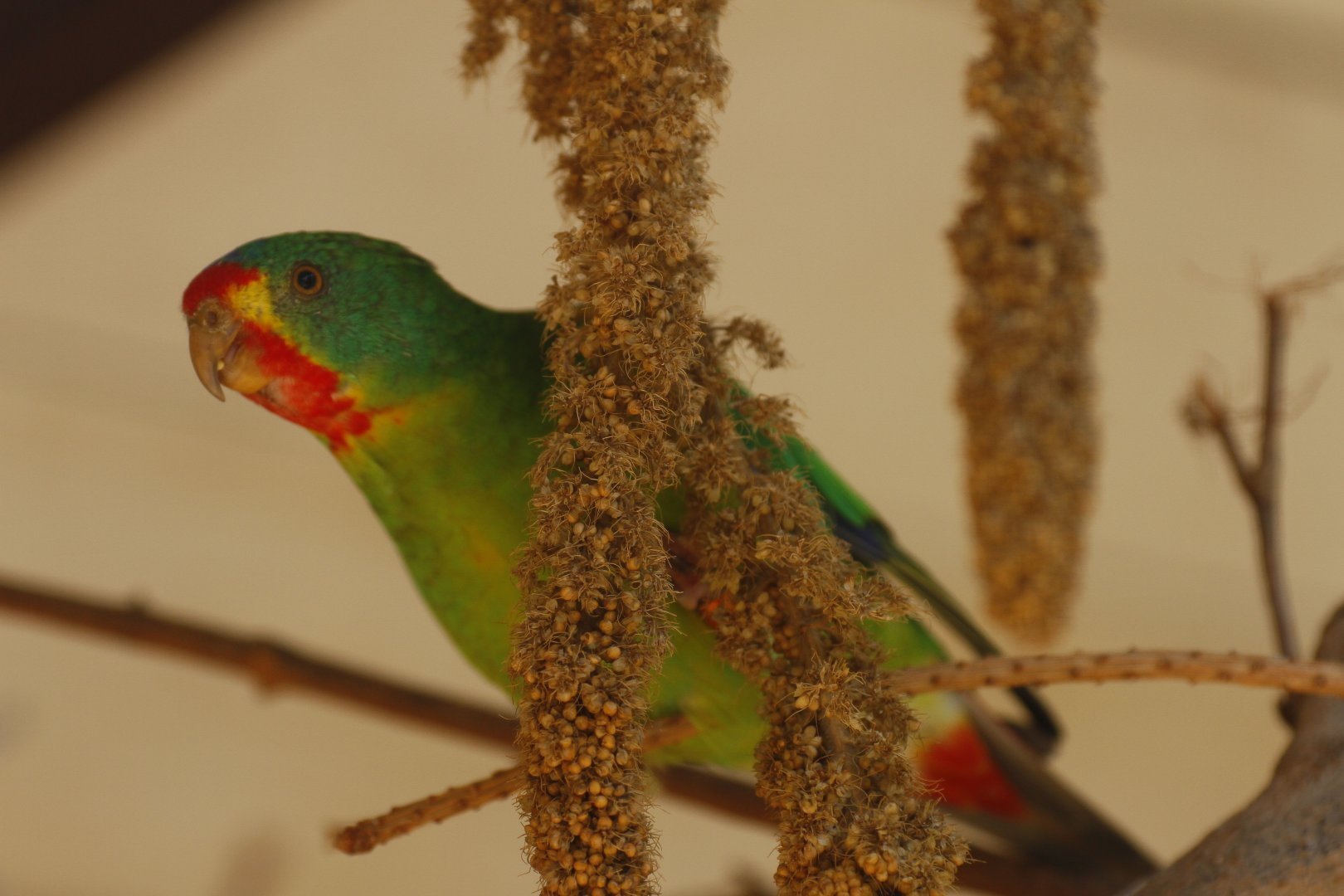 Swift parrot (Lathamus discolor) - ZooChat