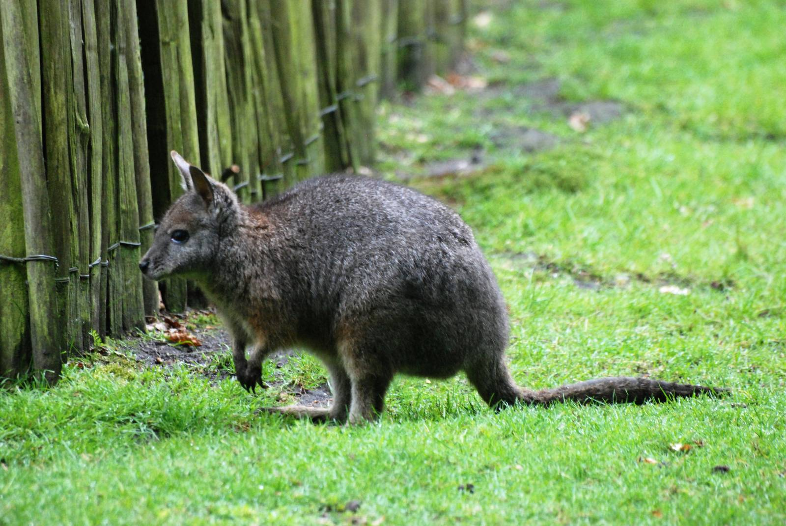 wallabies - HD 1600×1071