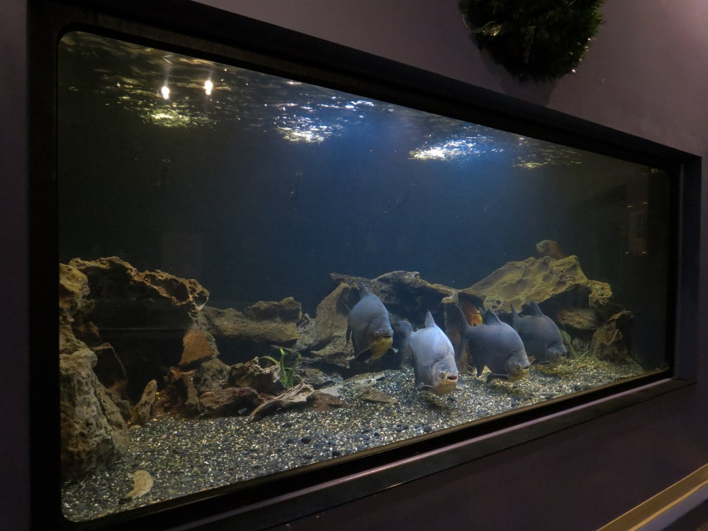 Tropical Waters - Black Pacu and Tiger Oscar Exhibit - ZooChat