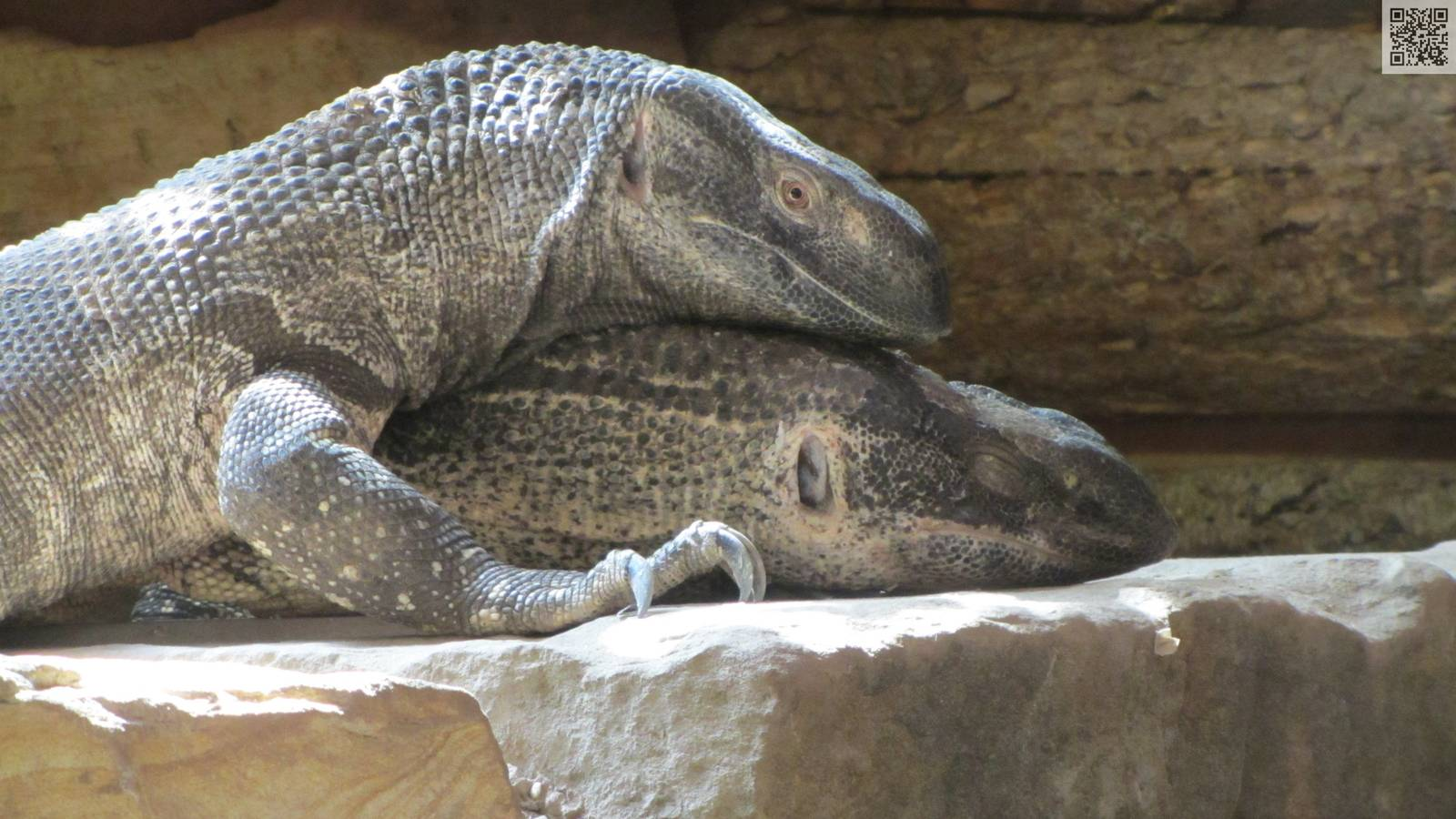 White Throated Monitor Lizard Pair In Love Zoochat