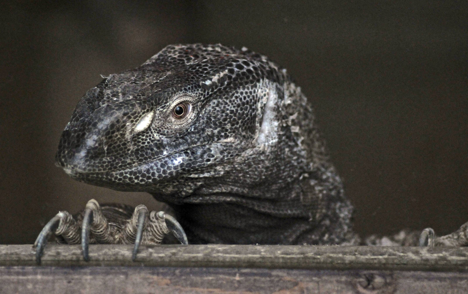 White Throated Monitor Zoochat